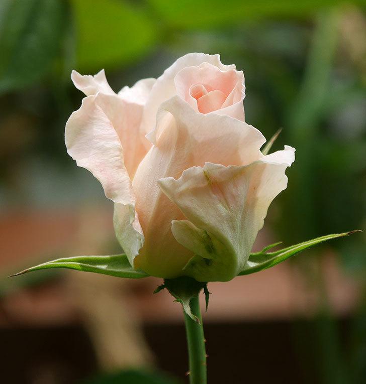 ロココ(ツルバラ)の花が少し咲いた。2019年-6.jpg