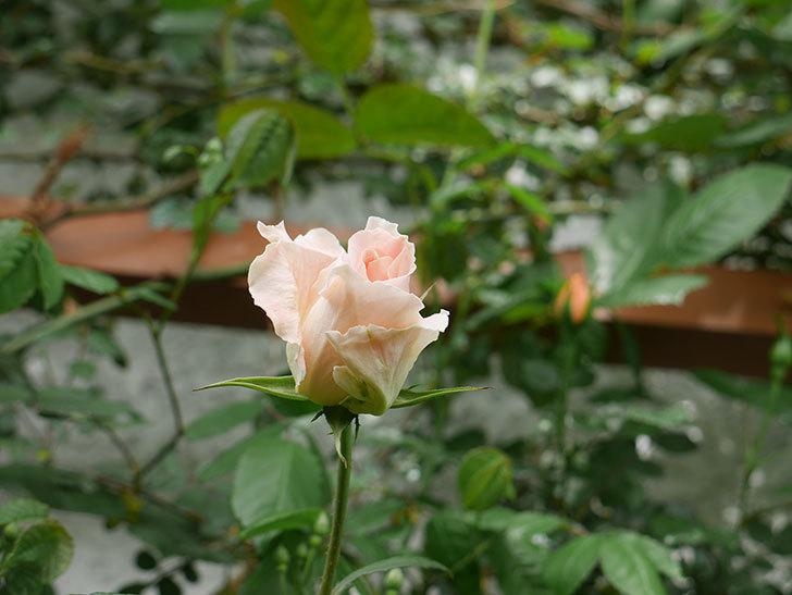 ロココ(ツルバラ)の花が少し咲いた。2019年-7.jpg