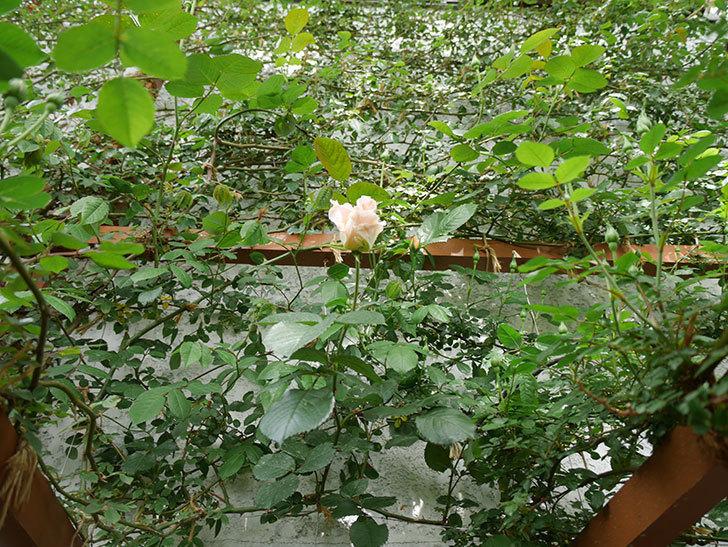 ロココ(ツルバラ)の花が少し咲いた。2019年-9.jpg