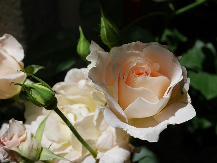 ロココ(ツルバラ)の花が房で咲いた。2018年-1.jpg