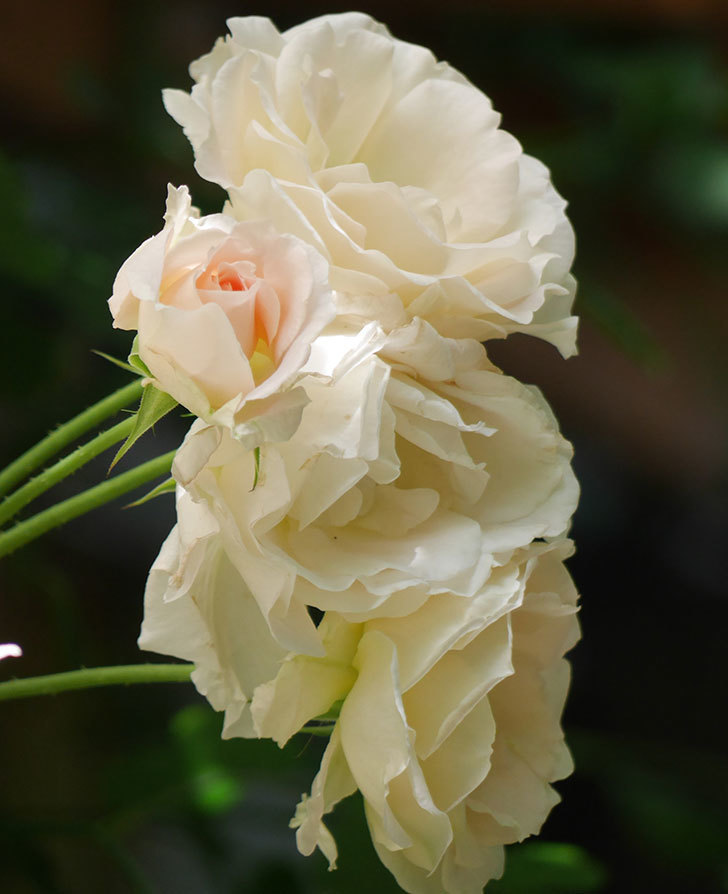ロココ(ツルバラ)の花が房で咲いた。2018年-10.jpg