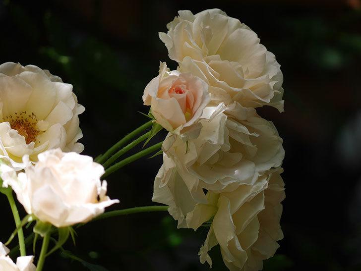 ロココ(ツルバラ)の花が房で咲いた。2018年-11.jpg