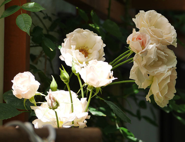 ロココ(ツルバラ)の花が房で咲いた。2018年-12.jpg