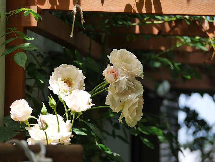 ロココ(ツルバラ)の花が房で咲いた。2018年-13.jpg