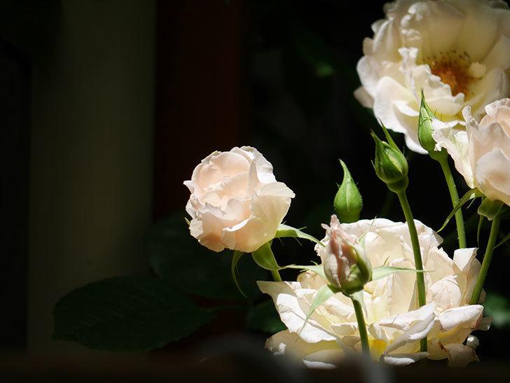 ロココ(ツルバラ)の花が房で咲いた。2018年-14.jpg