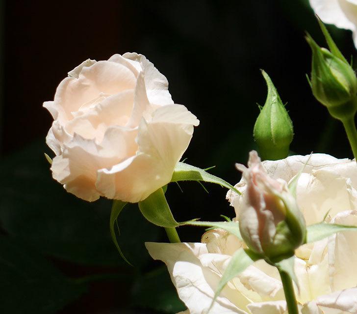 ロココ(ツルバラ)の花が房で咲いた。2018年-15.jpg