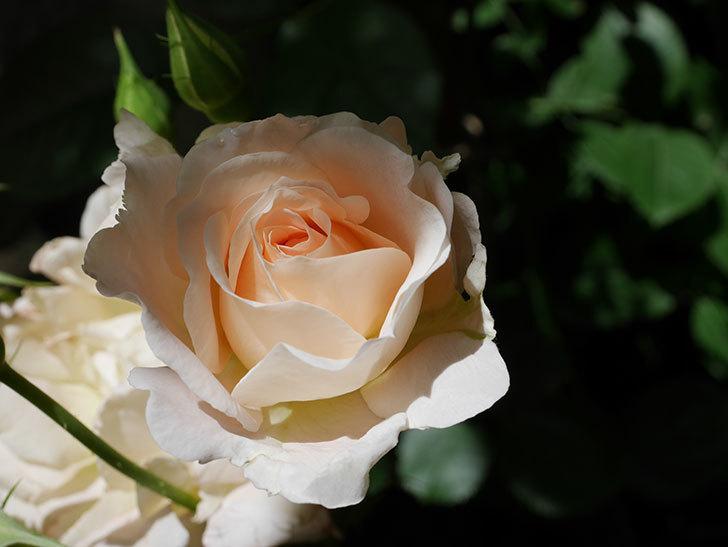 ロココ(ツルバラ)の花が房で咲いた。2018年-2.jpg