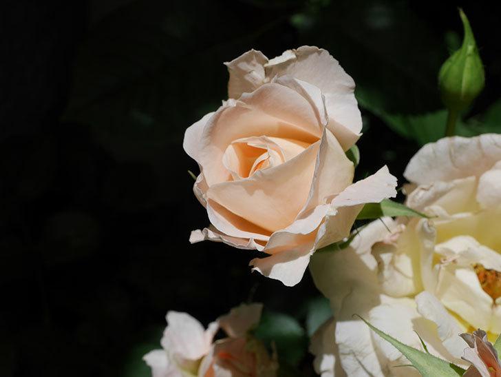 ロココ(ツルバラ)の花が房で咲いた。2018年-3.jpg