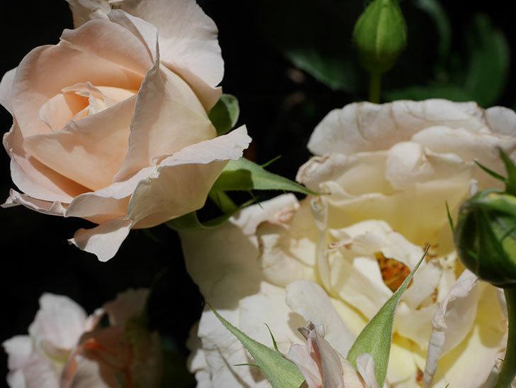 ロココ(ツルバラ)の花が房で咲いた。2018年-4.jpg