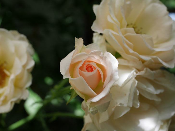 ロココ(ツルバラ)の花が房で咲いた。2018年-5.jpg