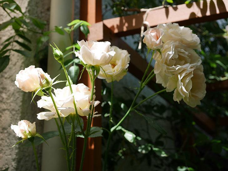 ロココ(ツルバラ)の花が房で咲いた。2018年-6.jpg