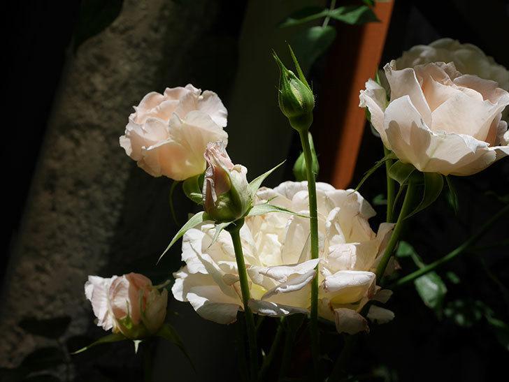 ロココ(ツルバラ)の花が房で咲いた。2018年-7.jpg