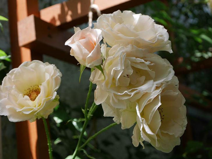 ロココ(ツルバラ)の花が房で咲いた。2018年-8.jpg