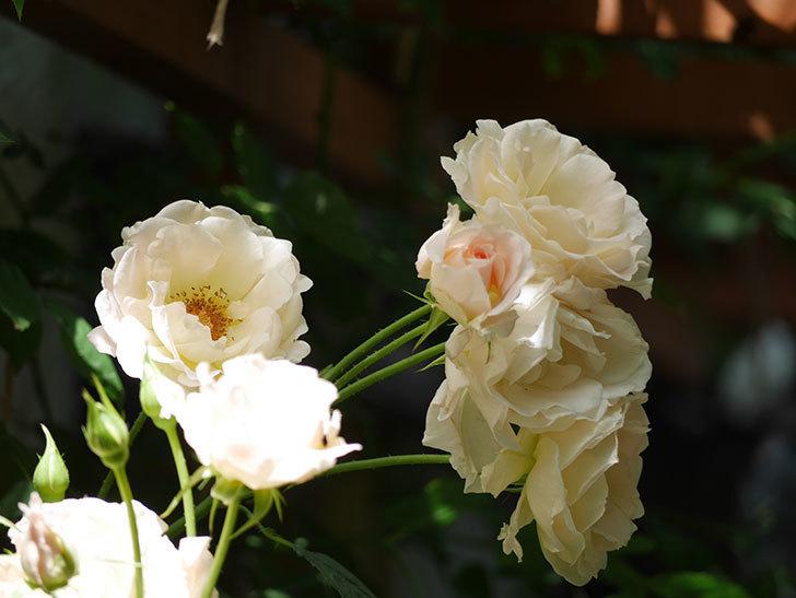 ロココ(ツルバラ)の花が房で咲いた。2018年-9.jpg