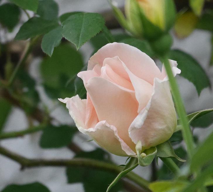 ロココ(ツルバラ)の花が開いて来た。2020年-1.jpg