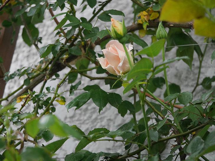 ロココ(ツルバラ)の花が開いて来た。2020年-2.jpg