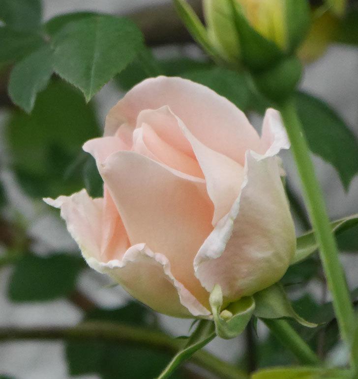 ロココ(ツルバラ)の花が開いて来た。2020年-3.jpg