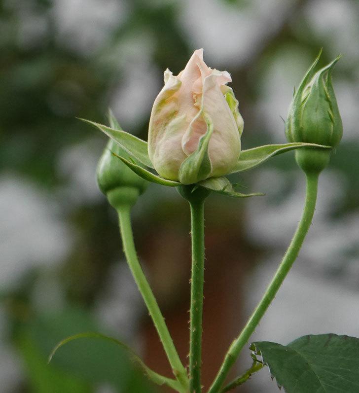 ロココ(ツルバラ)の花が開いて来た。2020年-4.jpg