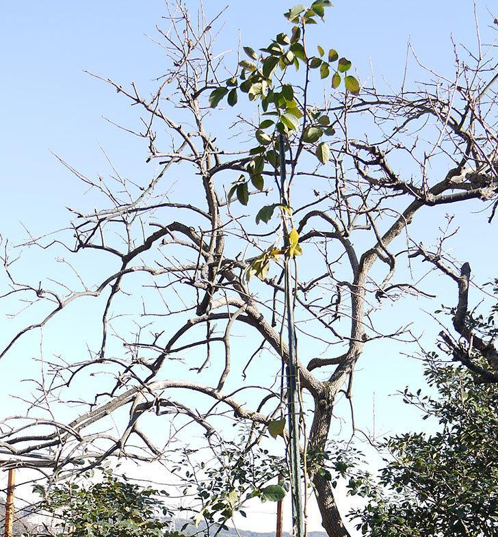 ロココ(ツルバラ)の鉢植えを地植えして誘引した。2017年-11.jpg