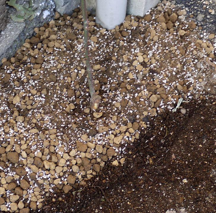 ロココ(ツルバラ)の鉢植えを地植えして誘引した。2017年-17.jpg
