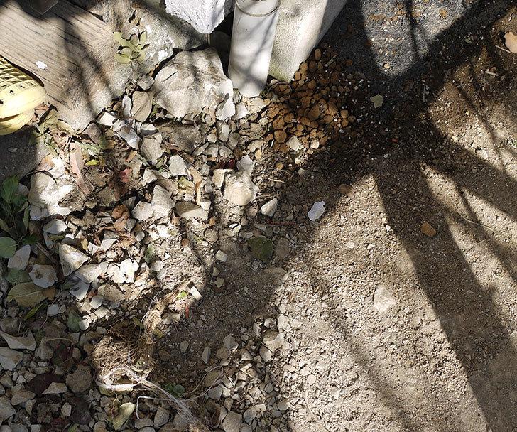 ロココ(ツルバラ)の鉢植えを地植えして誘引した。2017年-2.jpg