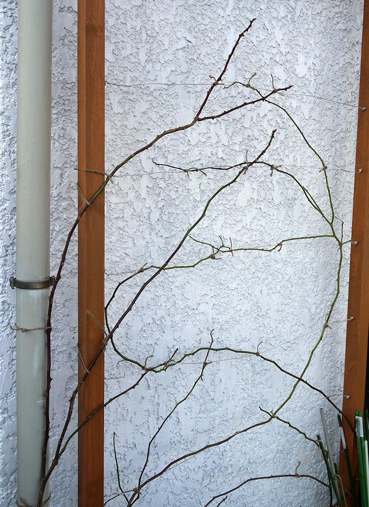 ロココ(ツルバラ)の鉢植えを地植えして誘引した。2017年-23.jpg
