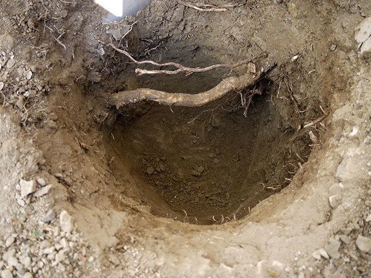 ロココ(ツルバラ)の鉢植えを地植えして誘引した。2017年-4.jpg