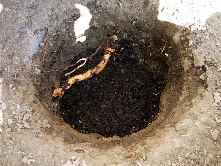 ロココ(ツルバラ)の鉢植えを地植えして誘引した。2017年-5.jpg