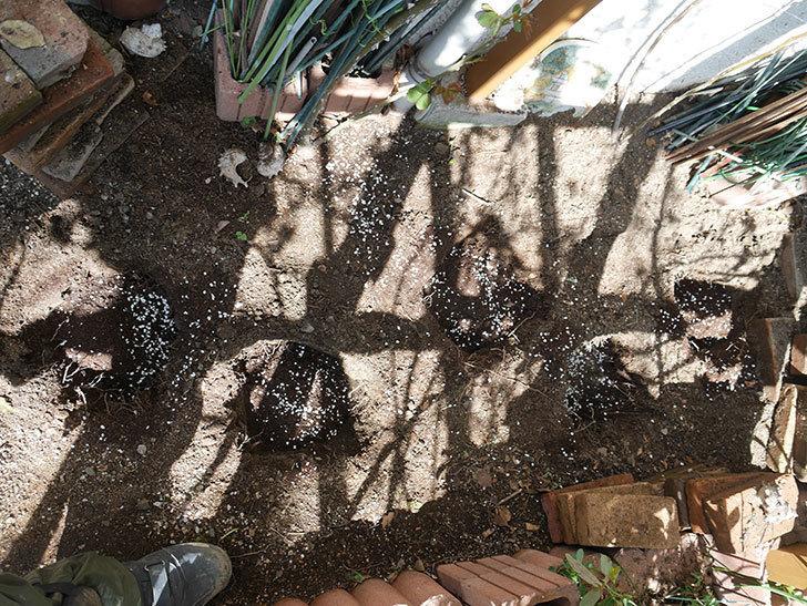 ロココ(Rokoko)に寒肥を施した。ツルバラ。2021年-012.jpg