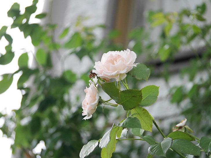 ロココ(Rokoko)の2番花が咲いた。ツルバラ。2020年-001.jpg