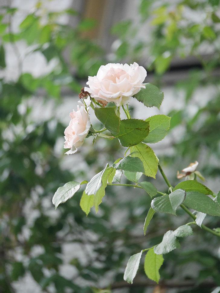 ロココ(Rokoko)の2番花が咲いた。ツルバラ。2020年-002.jpg