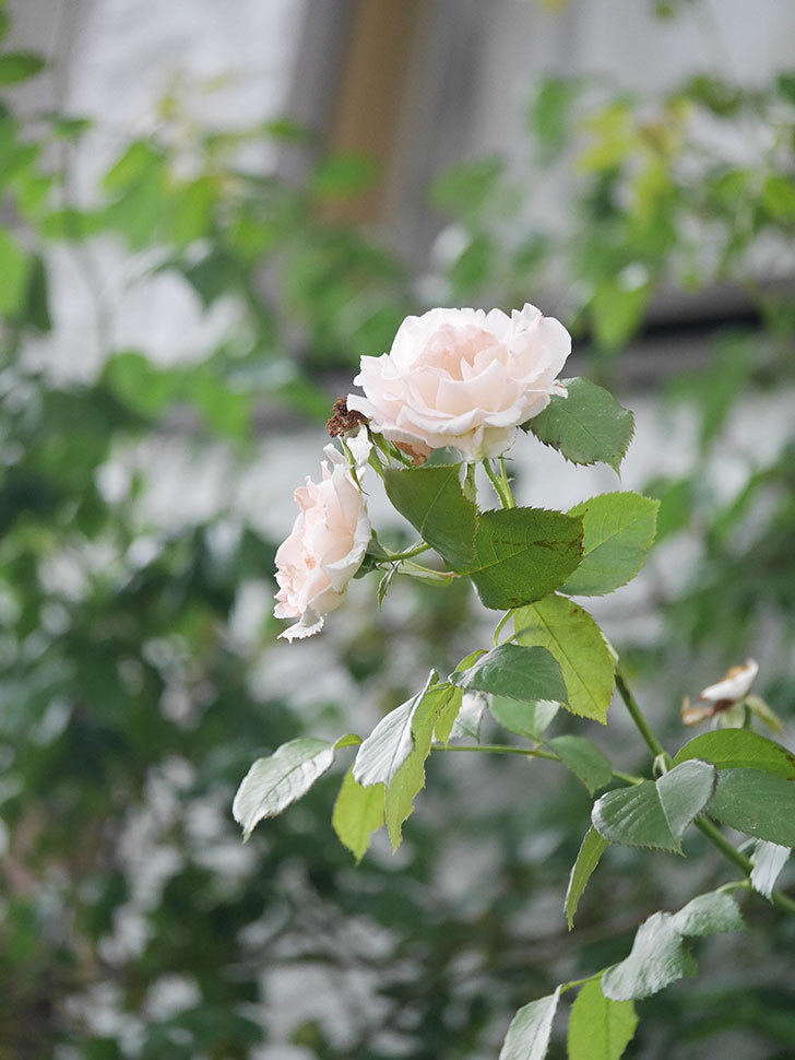 ロココ(Rokoko)の2番花が咲いた。ツルバラ。2020年-003.jpg