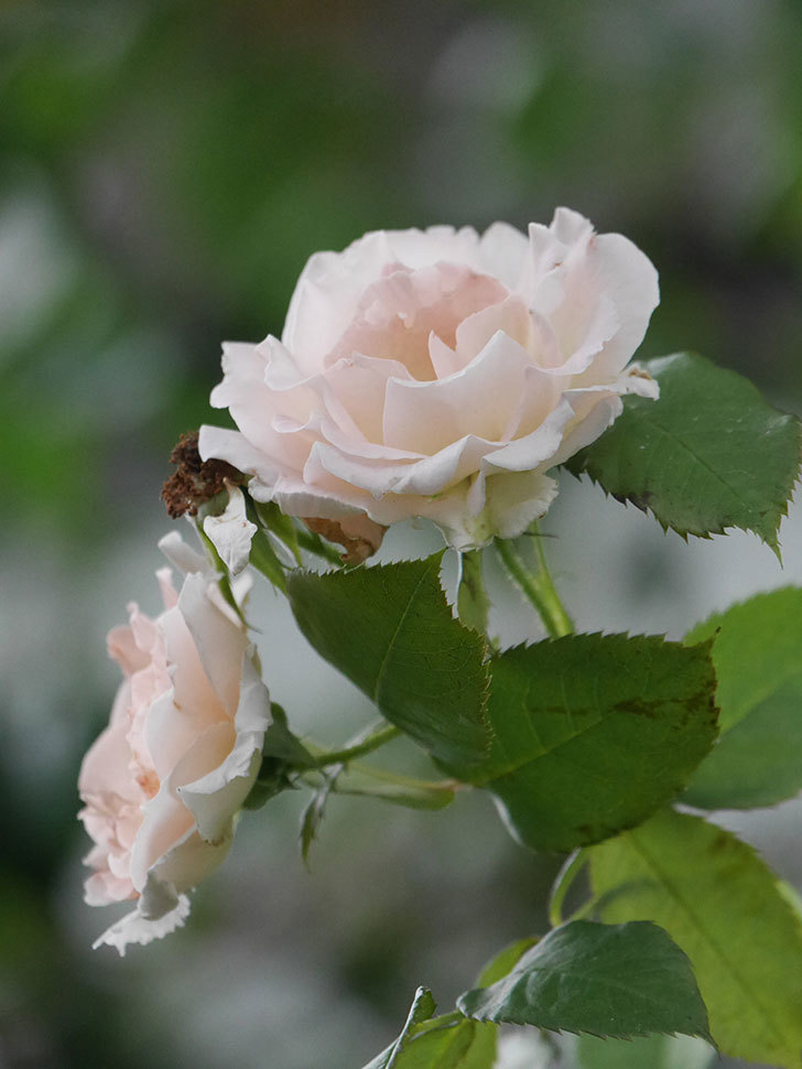 ロココ(Rokoko)の2番花が咲いた。ツルバラ。2020年-004.jpg