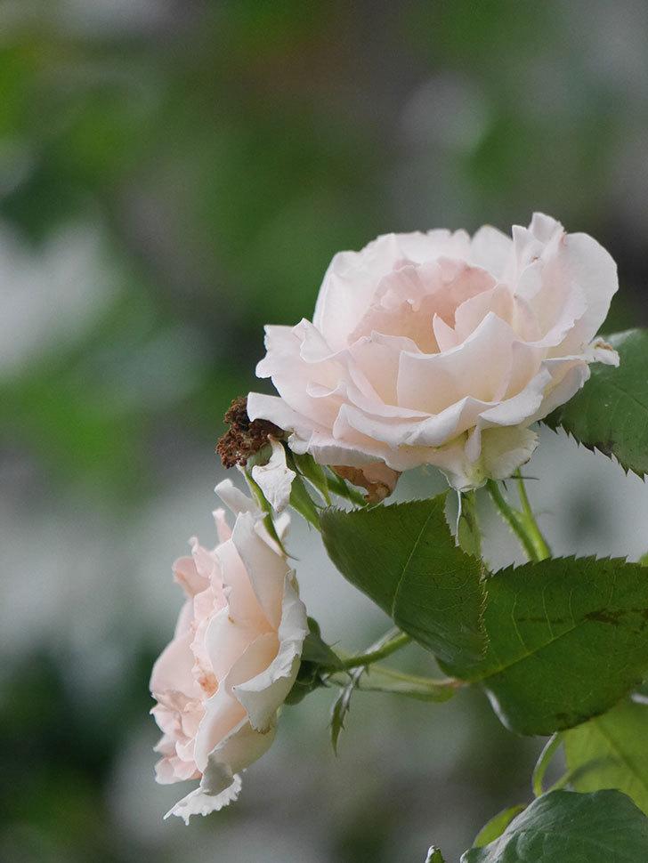 ロココ(Rokoko)の2番花が咲いた。ツルバラ。2020年-005.jpg
