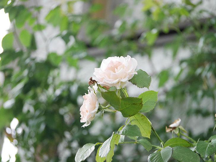 ロココ(Rokoko)の2番花が咲いた。ツルバラ。2020年-006.jpg