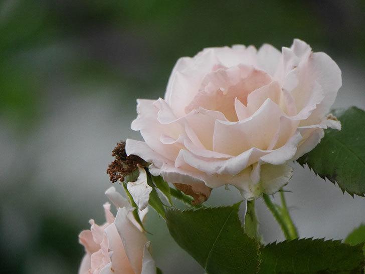 ロココ(Rokoko)の2番花が咲いた。ツルバラ。2020年-007.jpg
