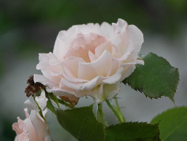 ロココ(Rokoko)の2番花が咲いた。ツルバラ。2020年-008.jpg