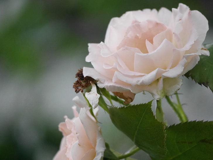 ロココ(Rokoko)の2番花が咲いた。ツルバラ。2020年-009.jpg