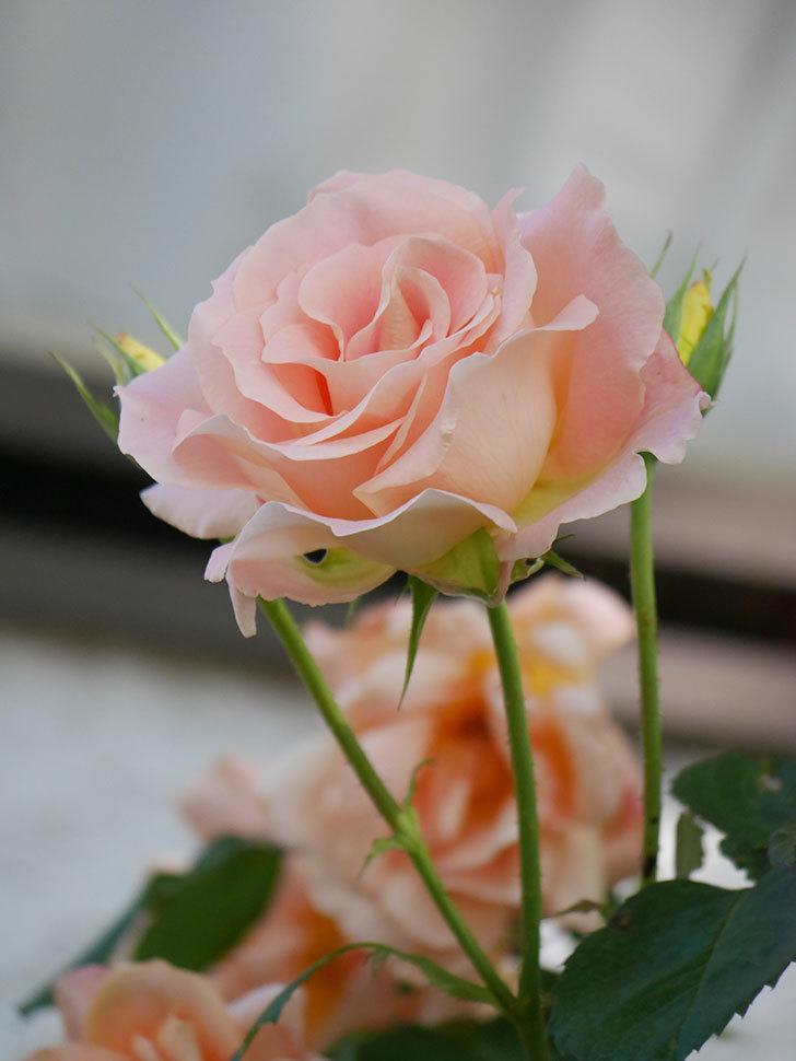 ロココ(Rokoko)の花が咲いた。ツルバラ。2021年-014.jpg