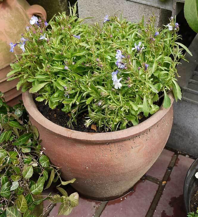ロベリアを鉢に植えた5.jpg