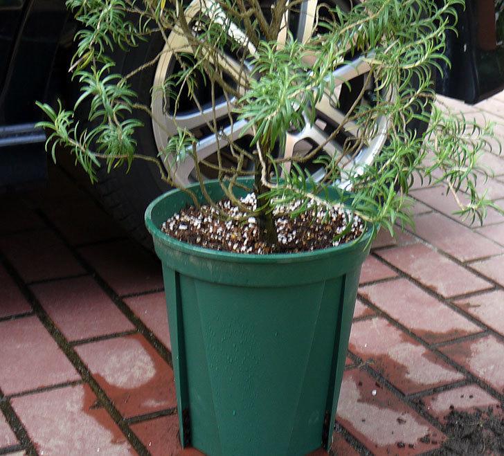 ローズマリーをスリット鉢に植え替えた。2016年-10.jpg
