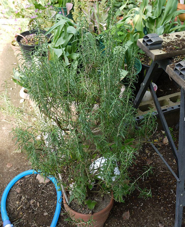 ローズマリーをスリット鉢に植え替えた。2016年-2.jpg