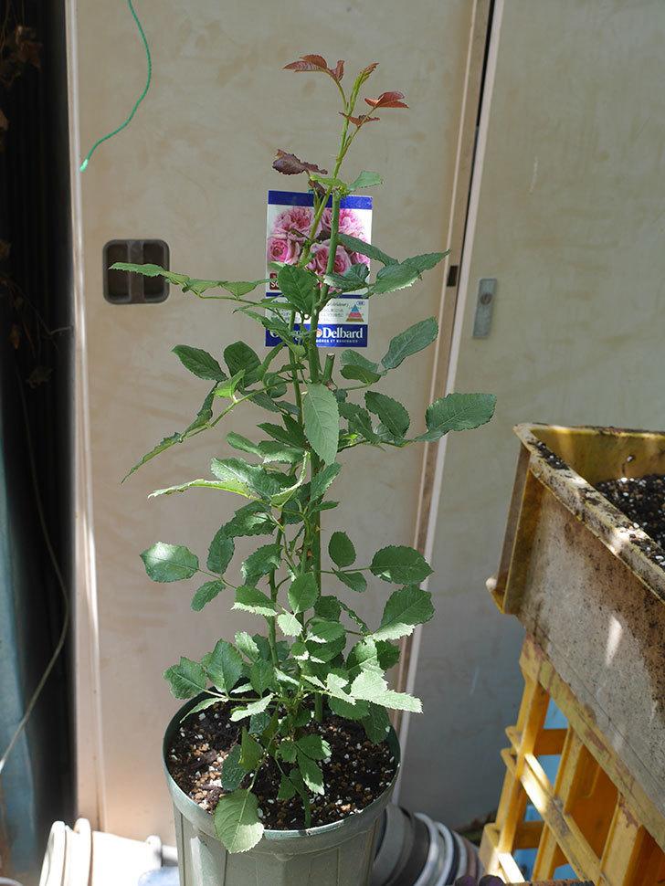 ローズ・ポンパドゥール(Rose Pompadour)の新苗を6号ロングスリットに植え換え。2020年-008.jpg