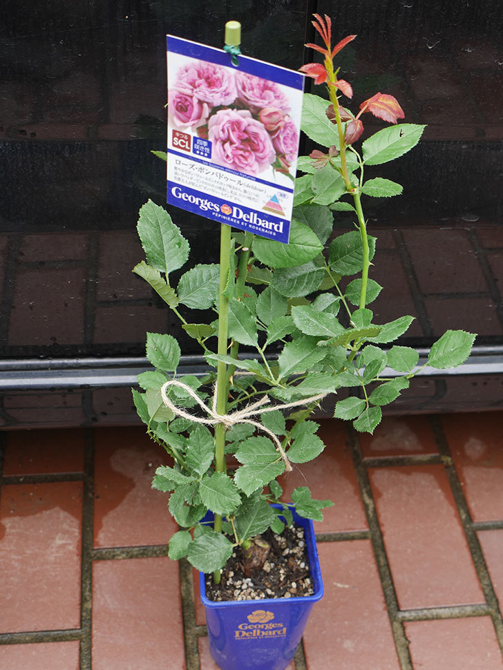 ローズ・ポンパドゥール(Rose Pompadour)の新苗を楽天のバラの家で買った。半ツルバラ。2020年-001.jpg