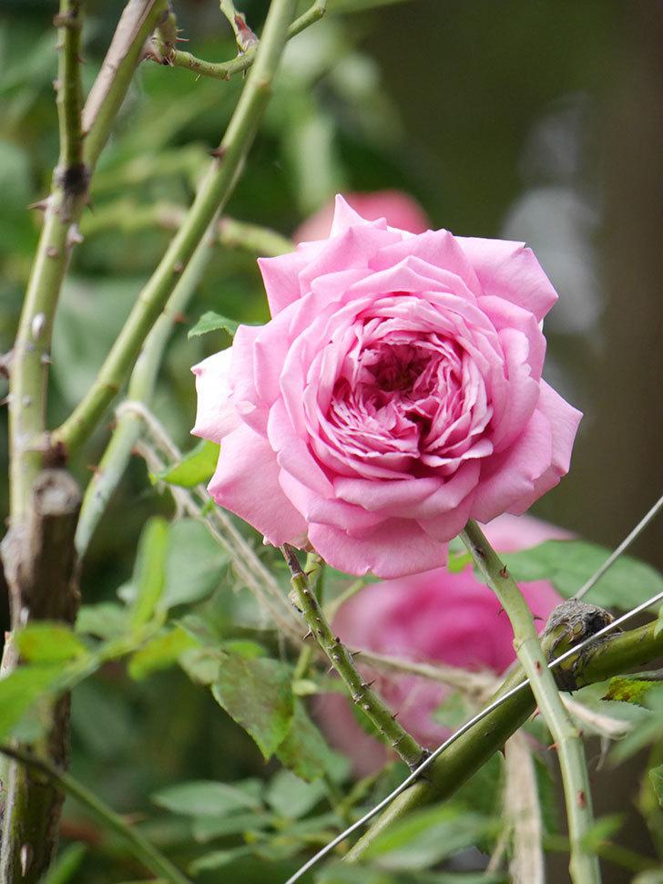 ローズ・ポンパドゥール(Rose Pompadour)の秋花が咲いた。半ツルバラ。2021年-015.jpg