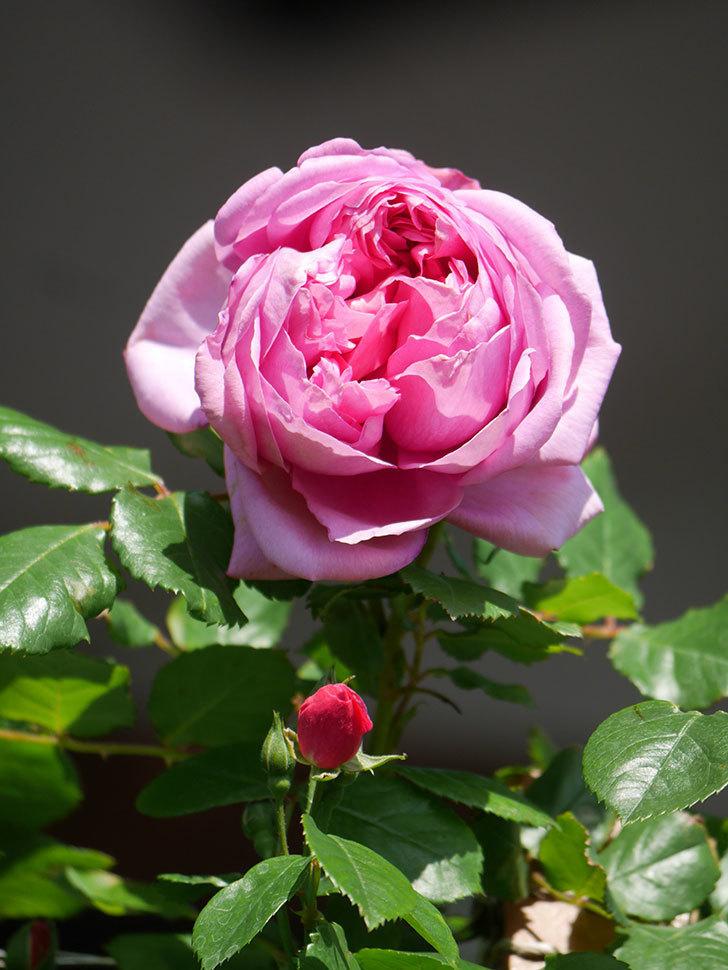 ローズ・ポンパドゥール(Rose Pompadour)の花が咲いた。半ツルバラ。2021年-024.jpg
