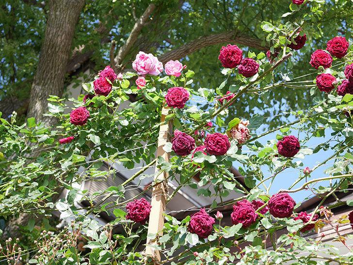 ローズ・ポンパドゥール(Rose Pompadour)の花が増えてきた。半ツルバラ。2021年-001.jpg