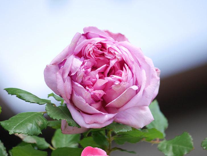 ローズ・ポンパドゥール(Rose Pompadour)の花が増えてきた。半ツルバラ。2021年-002.jpg