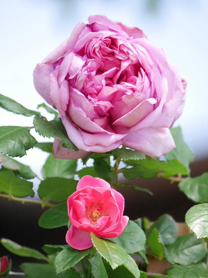 ローズ・ポンパドゥール(Rose Pompadour)の花が増えてきた。半ツルバラ。2021年-003.jpg
