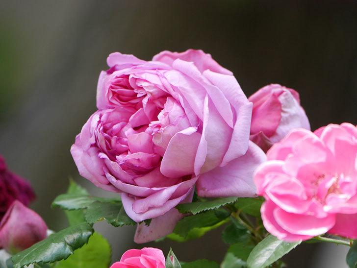 ローズ・ポンパドゥール(Rose Pompadour)の花が増えてきた。半ツルバラ。2021年-004.jpg